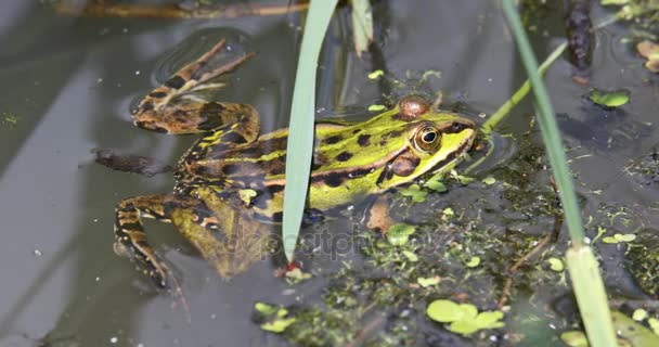 zöld tavi béka-tó, európai vadvilág