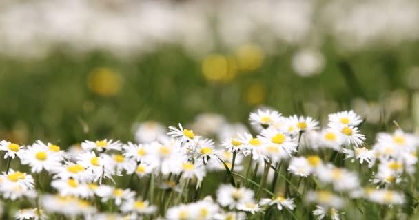 Malé bílé květy sedmikráska v zelené trávě s jarní vánek