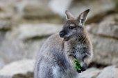 Fotografia Bambino di canguro Wallaby dal collo rosso