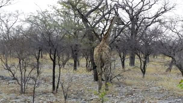 Az Etosha, afrikai Szafari wildlife zsiráf-zsiráf