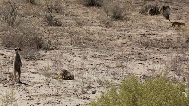 meerkat or suricate in Kgalagadi Transfontier park, South Africa