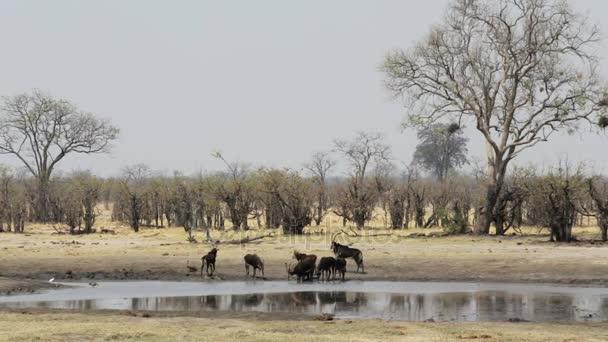 gyönyörű fekete lóantilop afrikai Szafari vadvilág fotózás
