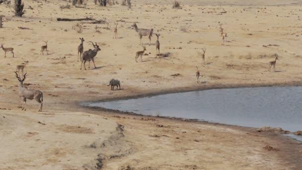 stádo Kudu a spingbok pití od napajedla, wildlife safari Afrika