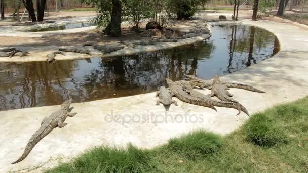Nile Crocodile in Victoria falls