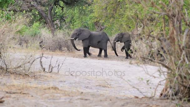 vadon élő afrikai elefánt, Namíbia, afrikai Szafari