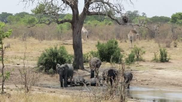 stádo afrických slonů a žiraf v Napajedla