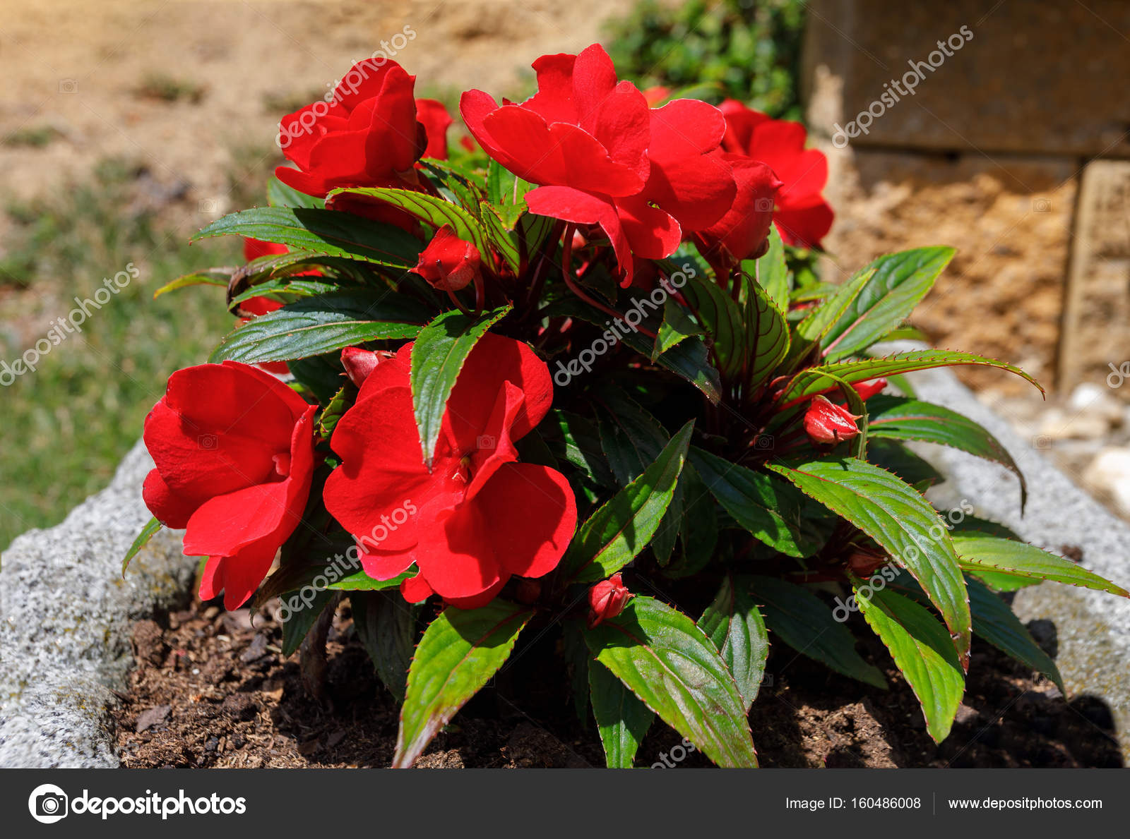 Red new guinea impatiens flowers in pots stock photo artush beautiful red and new guinea impatiens flowers in summer garden photo by artush mightylinksfo