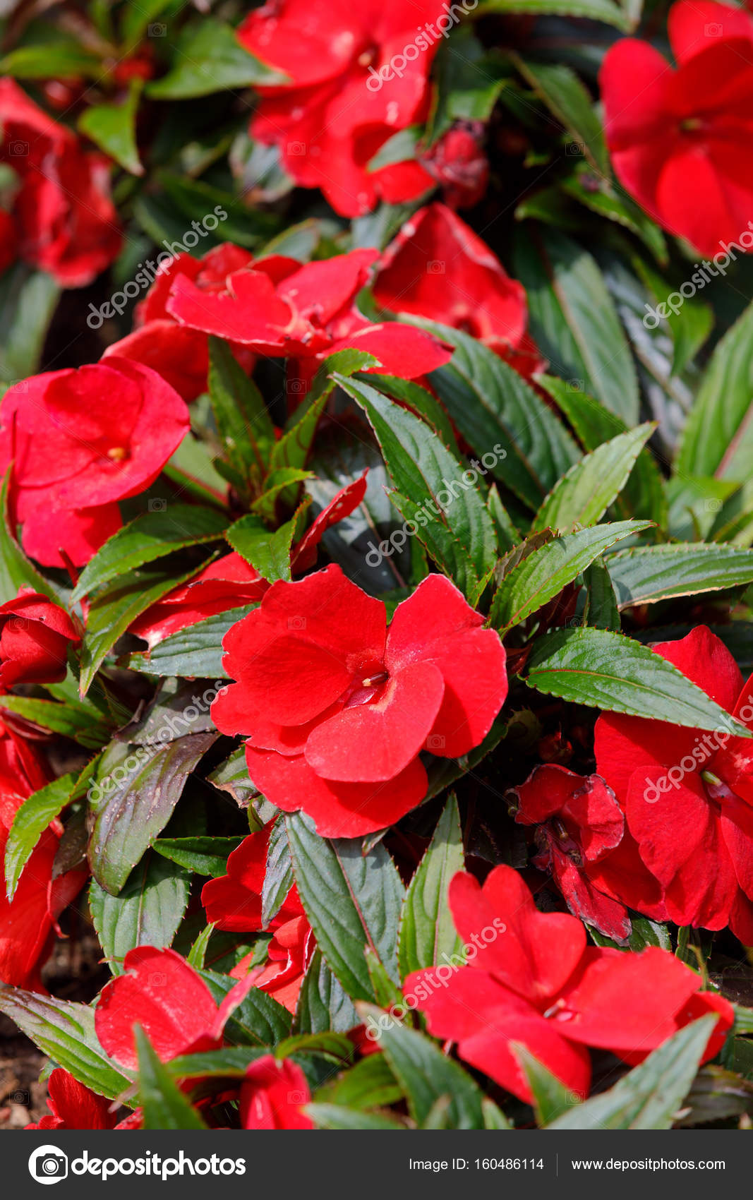 Red New Guinea Impatiens Flowers In Pots Stock Photo Artush