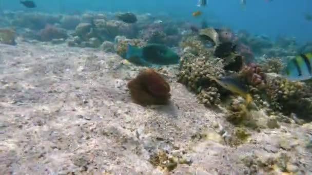 útes chobotnice (Octopus cyanea) a ryby na korálový útes