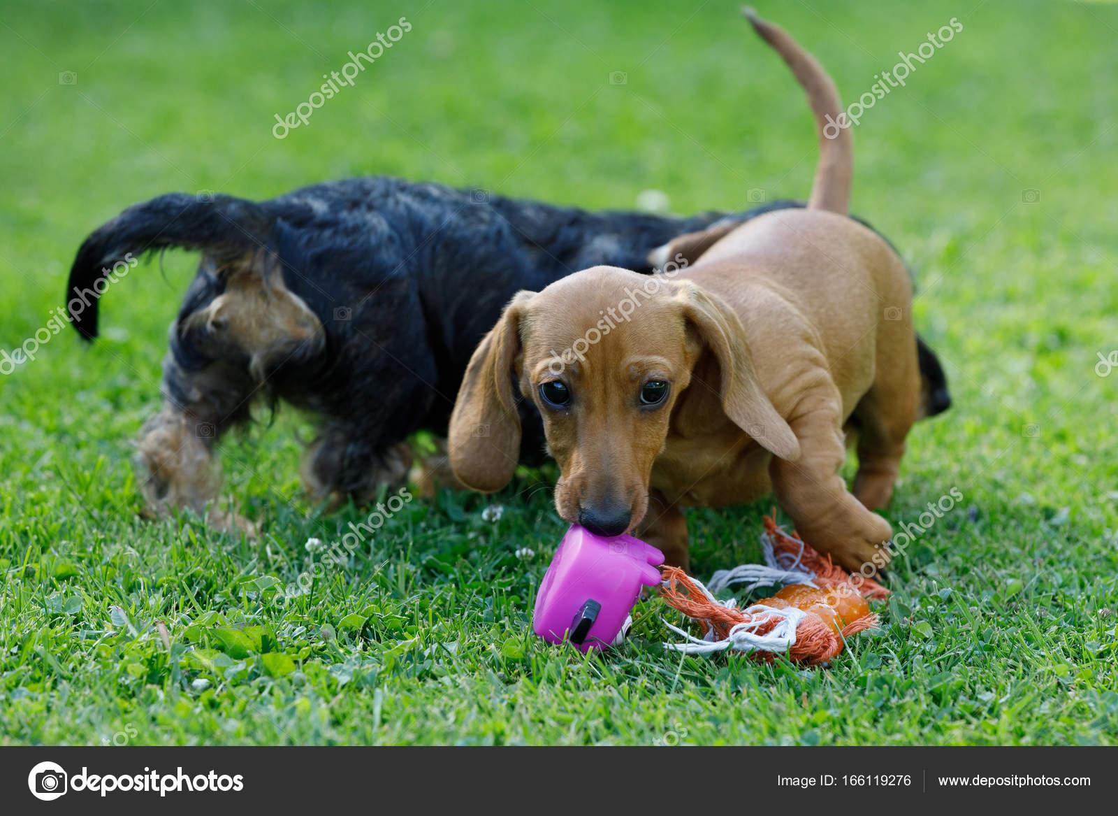 Fotos Perritos Salchicha Chiquitos Juega Dachshund Perros