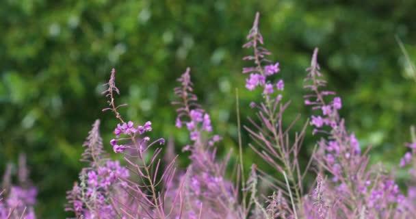 vad lila virágos réten a tavaszi szellő