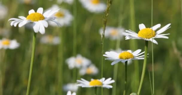 Bílý květ marguerite nebo daisy na louce v jarní vánek