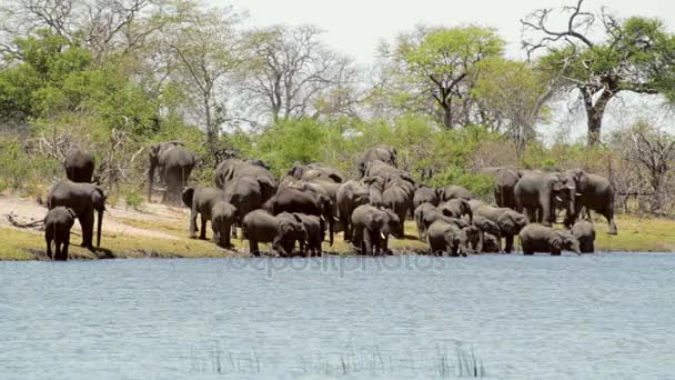 herd of African elephants going out from waterhole in very hot day with air curtains, Caprivi strip national Park, Namibia. Africa wildlife and safari