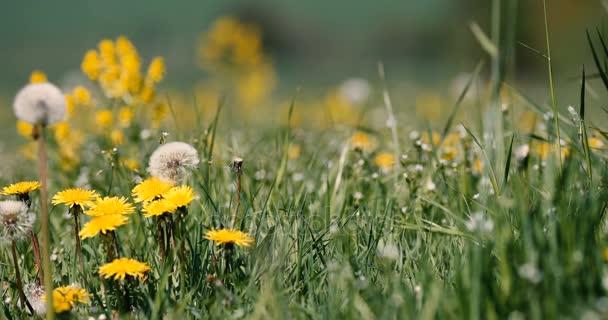 Jarní louka s pampeliškami svěží vánek, klidné jarní krajině přírodní scéna