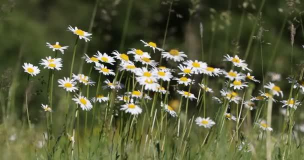 bílá marguerite daisy květinové pole nebo louku v jarním období, klidné krajině přírodní scéna