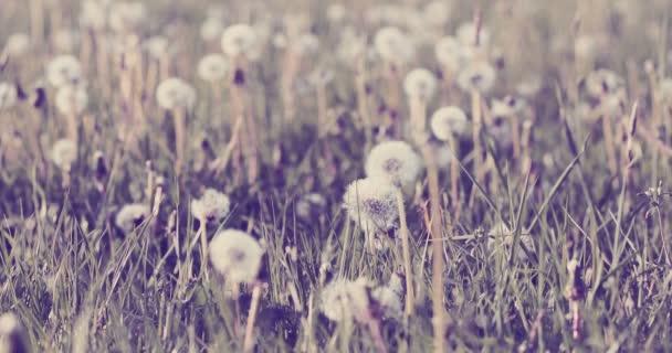 Pampeliška s semen na louce v jarní vánek