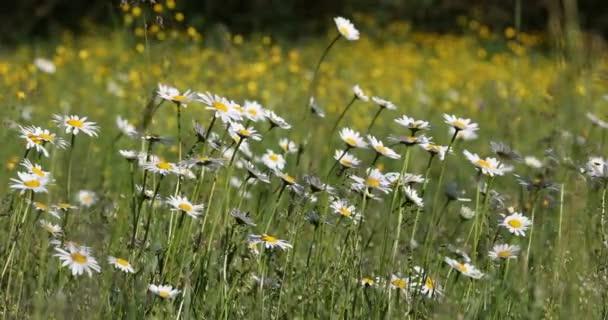 Jarní daisy marguerite květinové pole