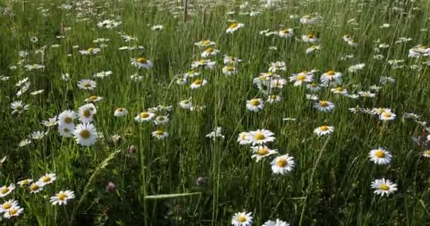 spring daisy marguerite flower field