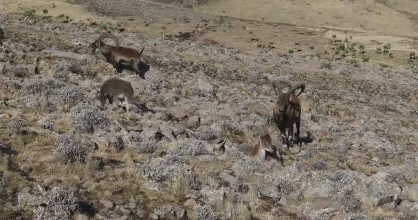 vzácné Walia ibex v pohoří Simien Etiopie