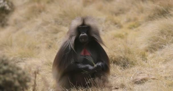 endemic Gelada in Simien mountain, Etiopia