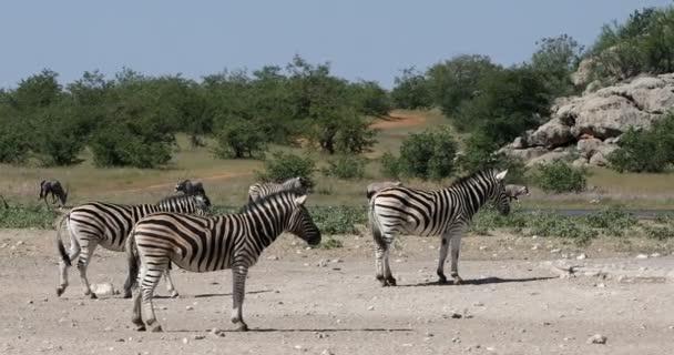 Zebra a bokorban, Namíbia Afrika vadvilág