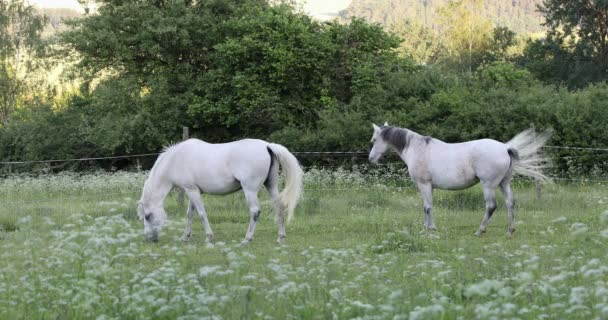 two white horses grazing in a spring grass meadow pasture on farm, rural countryside scene
