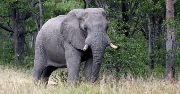 majestätische afrikanische Elefantenfütterung in natürlichem Lebensraum im Moremi Wildreservat, Botswana Safari Wildlife