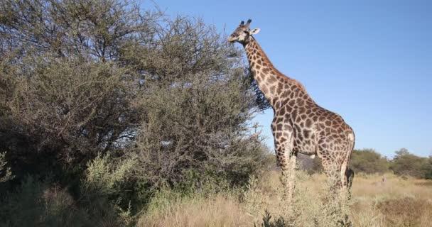Gyönyörű dél-afrikai zsiráf táplálkozás akác fa afrikai bokor, Moremi Game Reserve Botswana, Afrika szafari vadvilág