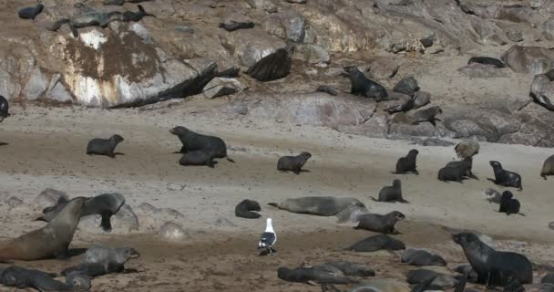 big colony of cute brown seal in Cape Cross, Namibia, Africa wildlife