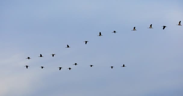 létající hejno Common Crane, Hortobagy Maďarsko