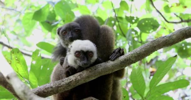Fehérfejű maki, madagaszkári wildlife család