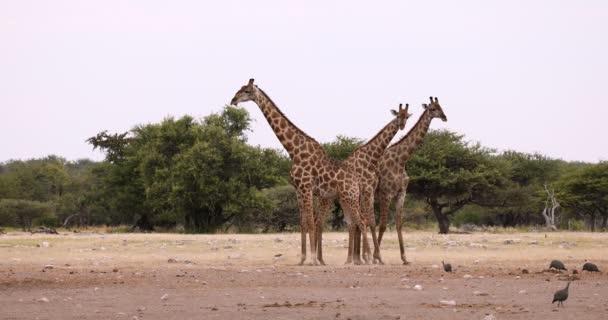 Giraffe auf Etoscha, Namibia Safari Wildtiere