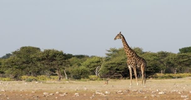 South African giraffe, Africa Namibia safari wildlife