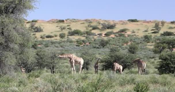 cute Giraffes, South Africa wildlife