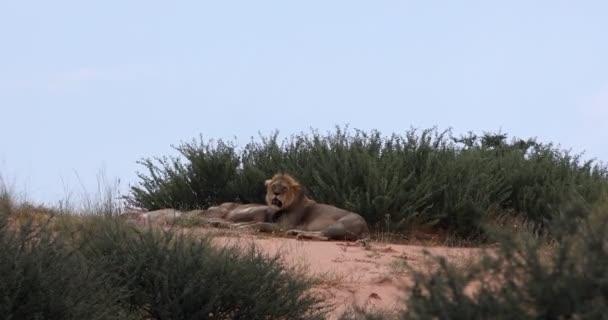 resting lion in Kalahari, South Africa wildlife safari