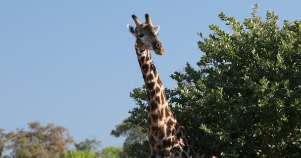 Jihoafrická žirafa, Afrika divoká zvěř safari