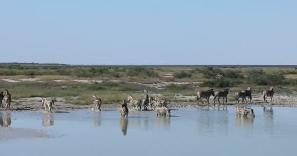 zebra in Etosha Namíbia vadvilág szafari
