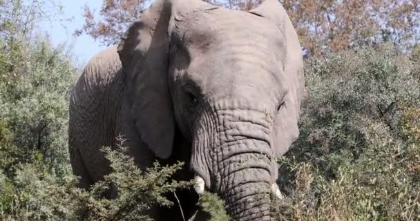 Elephant in Pilanesberg, South Africa wildlife safari.