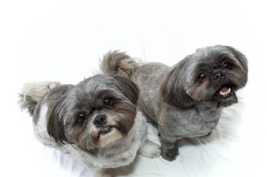 two shih tzu dogs looking up on white