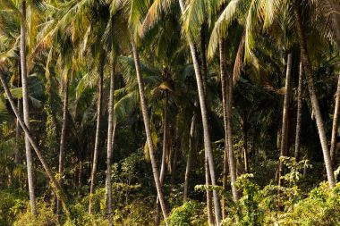 coconut trees in jungle forest