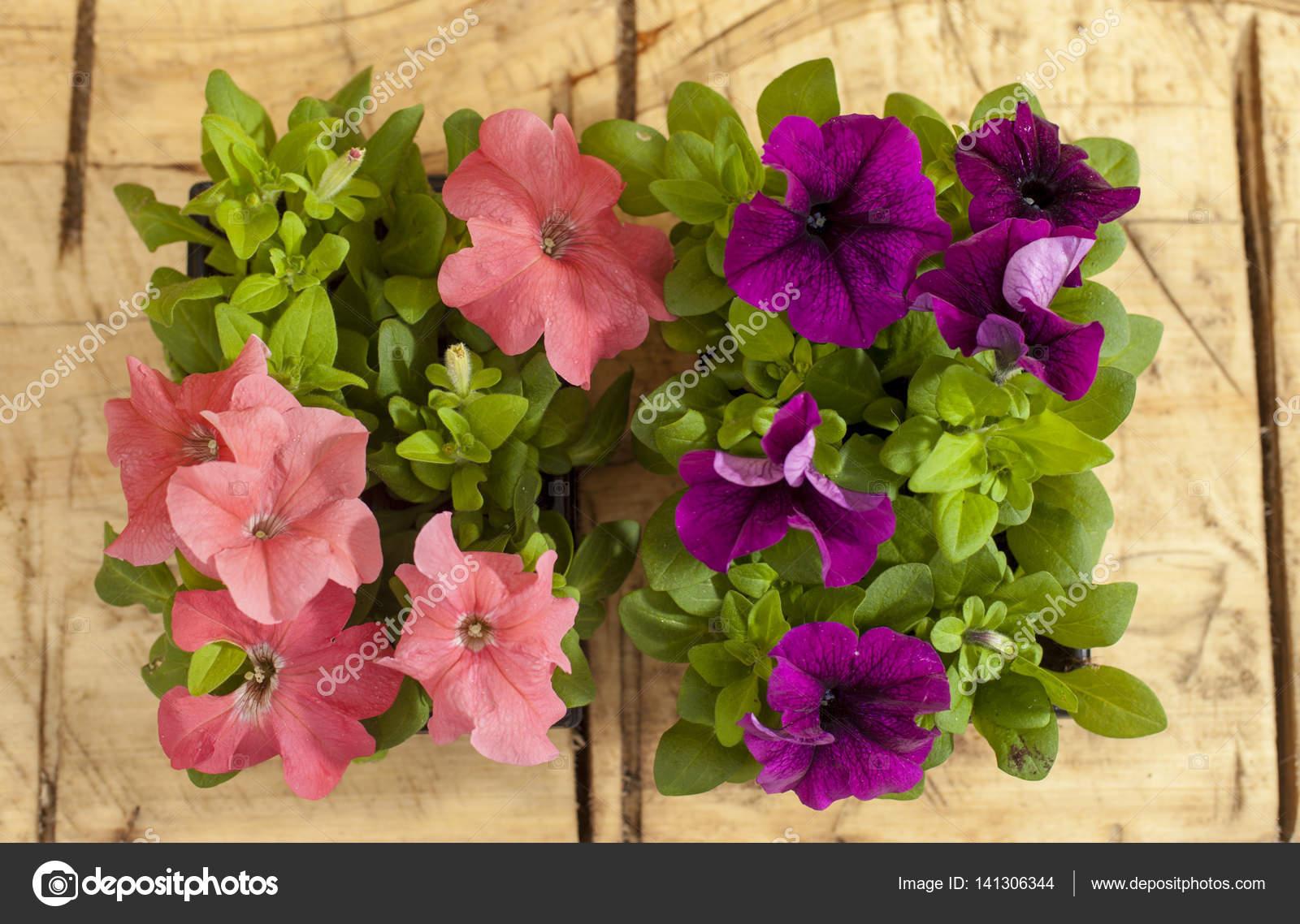 seedlings petunia flowers — Stock Photo © Miyori #141306344