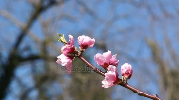 Delicate spring flowers, wild cherries on the branch of a cherry tree. Cherry blossoms of japanese sakura.