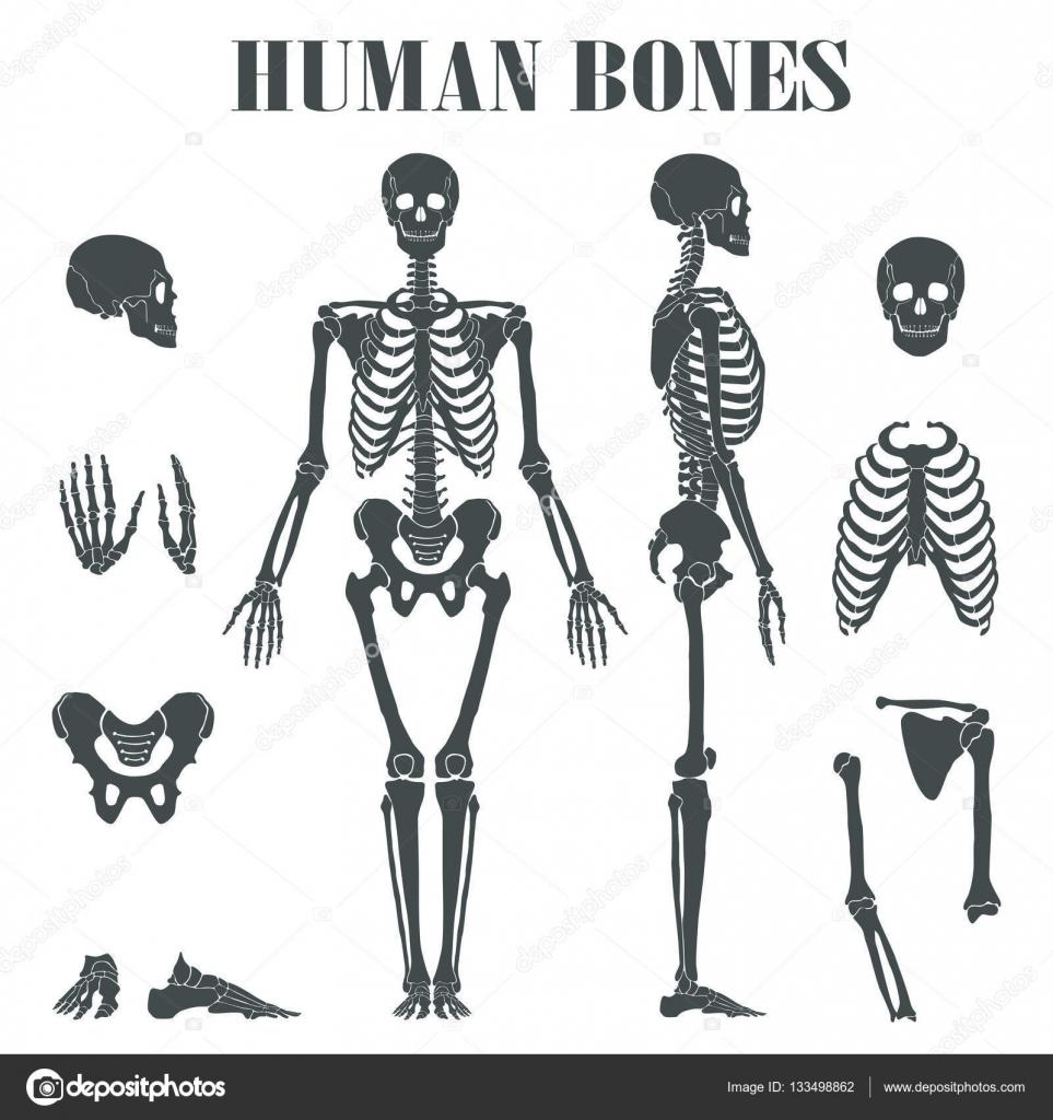 Menschliches Skelett mit verschiedenen Teilen — Stockvektor ...