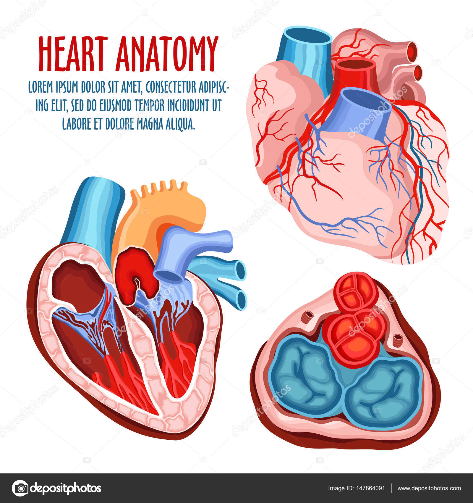 Heart structure, medical and anatomy poster — Stock Vector ...
