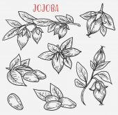 Sketches of jojoba stem with leaves and nut
