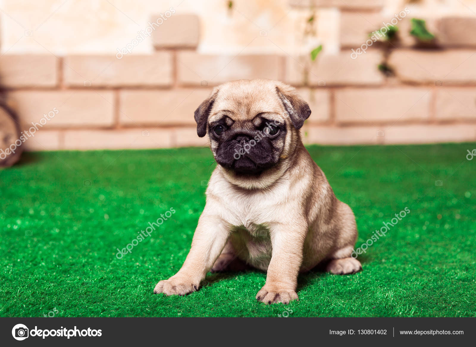 Little Beige Pug Puppies Sitting On The Green Grass Against The Stock Photo C Favorekyiv Gmail Com 130801402