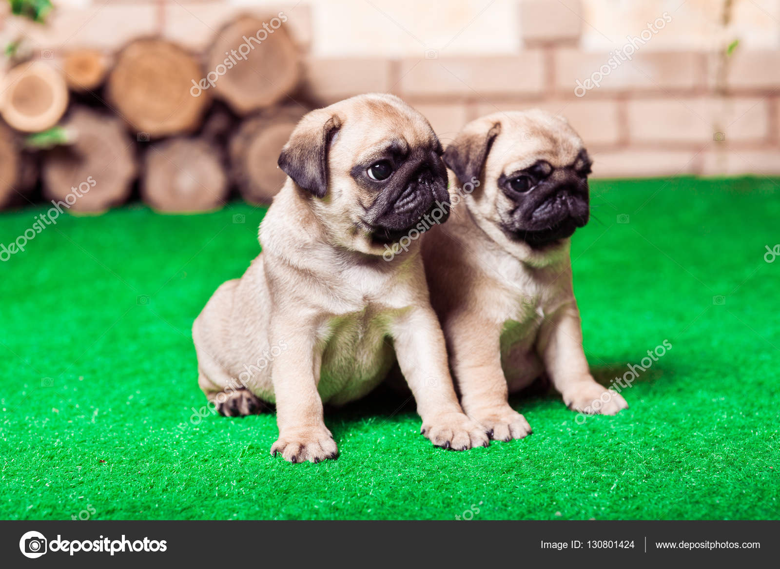 Little Beige Pug Puppies Sitting On The Green Grass Against The Stock Photo C Favorekyiv Gmail Com 130801424