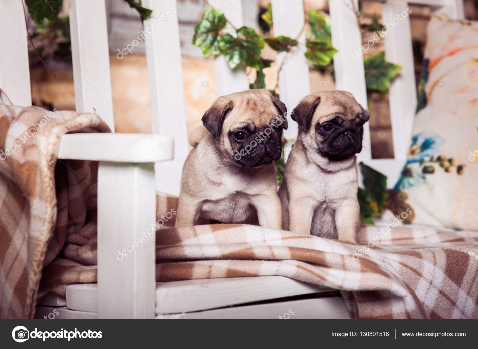 Little Beige Pug Puppies Sitting On The Bench Entwined With Ivy Stock Photo C Favorekyiv Gmail Com 130801518