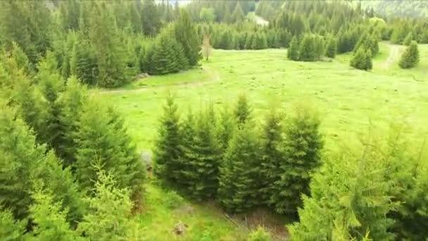 Letecký pohled na záběry Drone: Přelet na jaře hory, kopce a louky s borovice a jedle zelené lesy v měkké světlo slunce. Karpaty, Rumunsko, Evropa. Krásná krajina