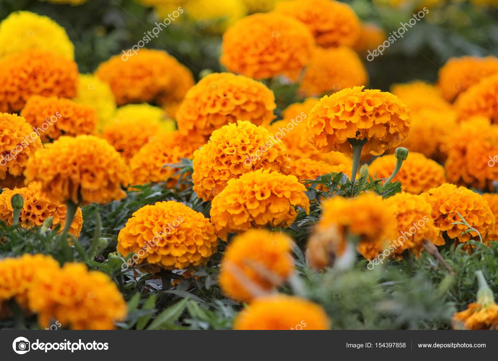 Beautiful Marigold Flowers Stock Photo Bastetamon 154397858